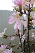 sakura_cut_flowers_2020_001.JPG