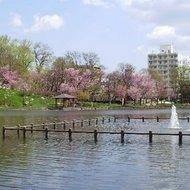 満開の桜と千鳥ケ池(5月初旬~中旬)