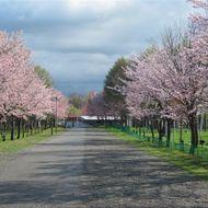 園路沿いの満開の桜