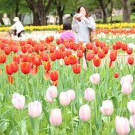 中央花壇のチューリップ(5月中旬)
