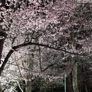 満開の桜とライトアップ(夜桜まつり)