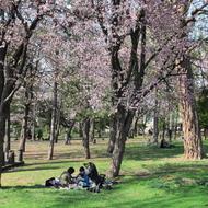 満開の桜(5月初旬~中旬)